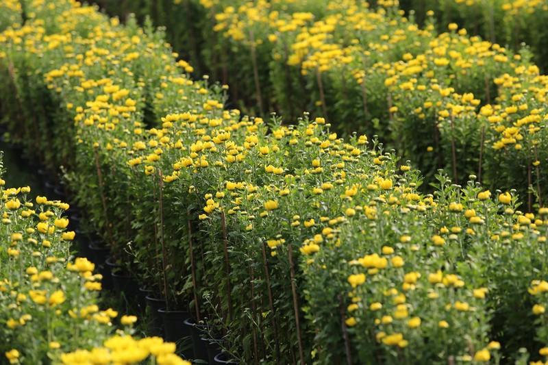 Làng hoa ven Sài Gòn hối hả đón Tết Kỷ Hợi - ảnh 2