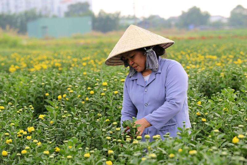 Làng hoa ven Sài Gòn hối hả đón Tết Kỷ Hợi - ảnh 4