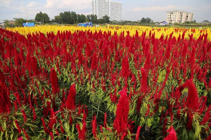 Làng hoa ven Sài Gòn hối hả đón Tết Kỷ Hợi - ảnh 5