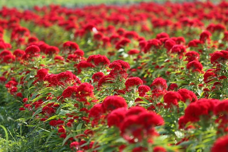 Làng hoa ven Sài Gòn hối hả đón Tết Kỷ Hợi - ảnh 6