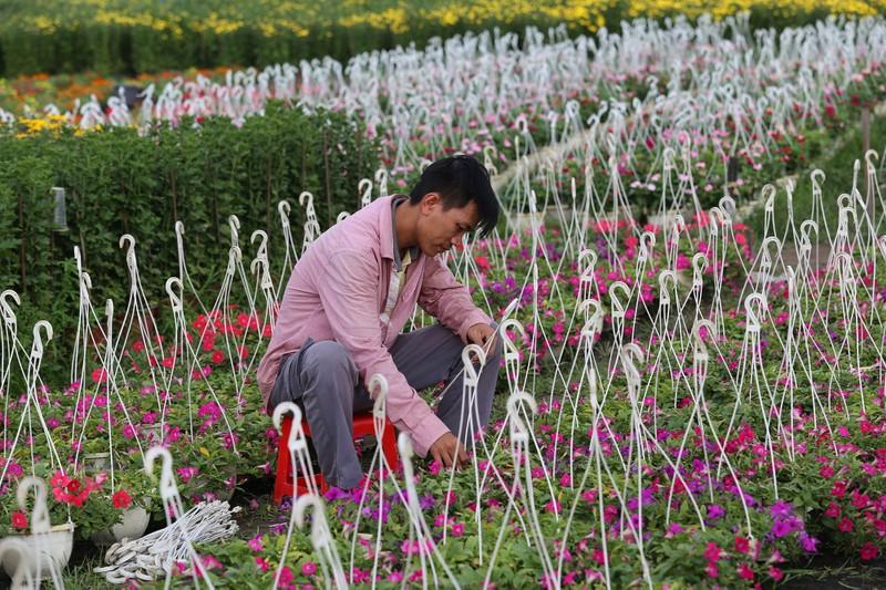 Làng hoa ven Sài Gòn hối hả đón Tết Kỷ Hợi - ảnh 7
