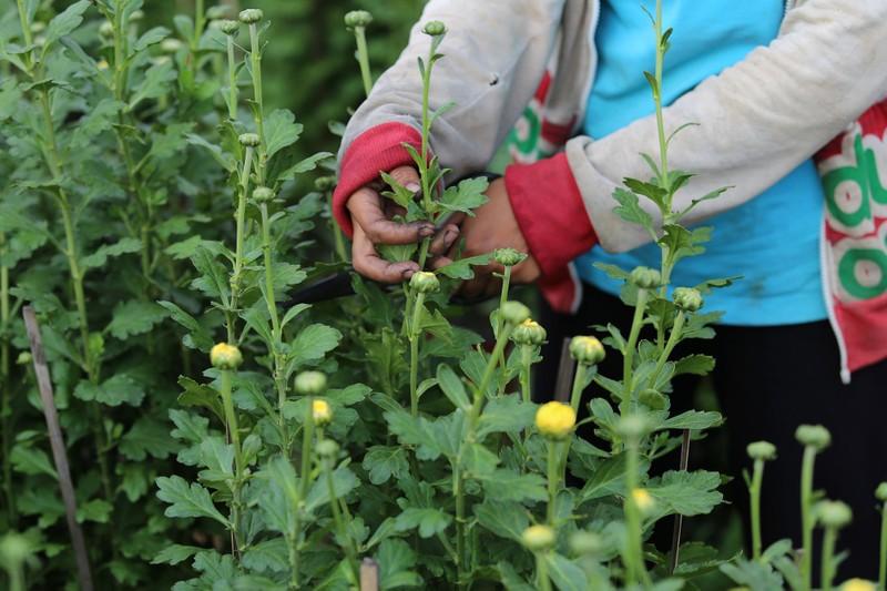 Làng hoa ven Sài Gòn hối hả đón Tết Kỷ Hợi - ảnh 8
