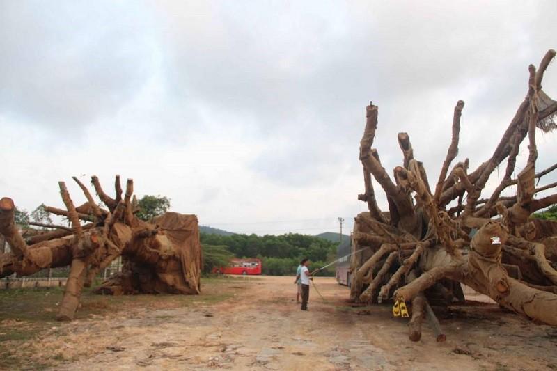 Toàn cảnh vụ cây 'khủng' bị giữ tại Thừa Thiên-Huế - ảnh 4