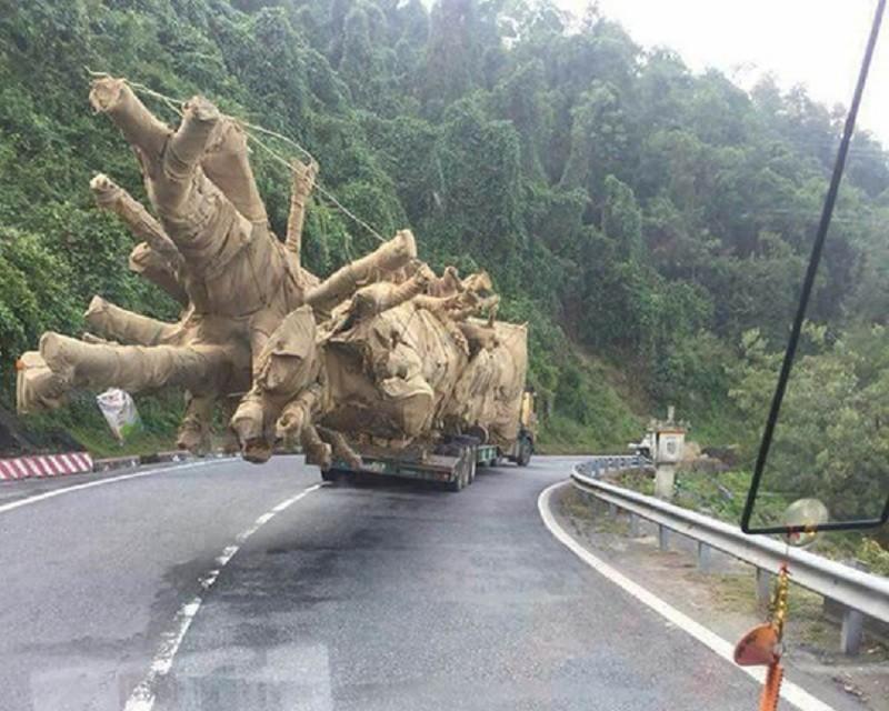 Toàn cảnh vụ cây 'khủng' bị giữ tại Thừa Thiên-Huế - ảnh 1