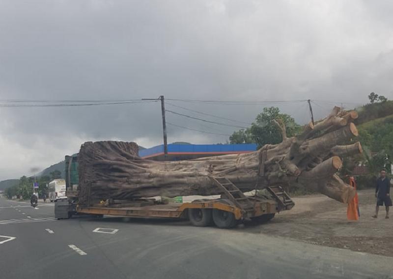 Không bằng lái, tài xế vẫn chở cây 'khủng' trên quốc lộ 1A - ảnh 1
