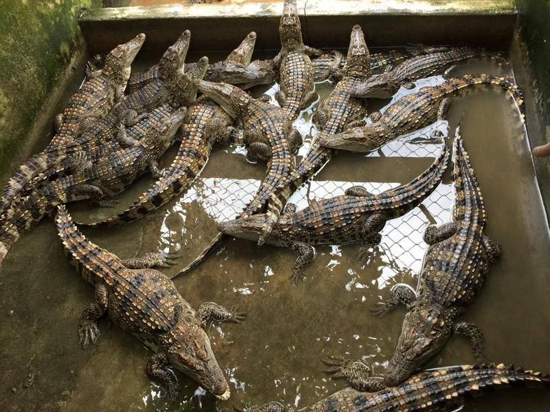 Gần 7.000 con cá sấu sống tại TPHCM 'bay' ra nước ngoài - ảnh 1