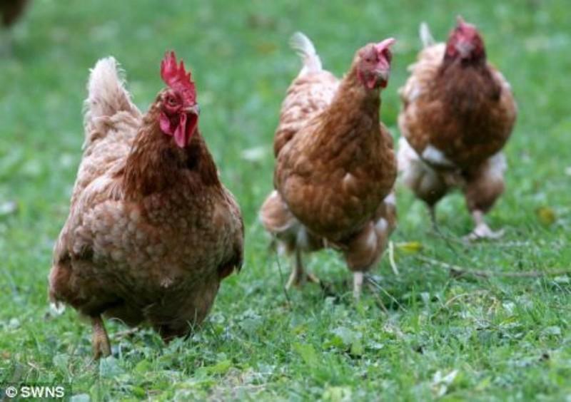 Thẩm phán và Kiểm sát viên 'luận' về vụ 3 con gà đi lạc - ảnh 1