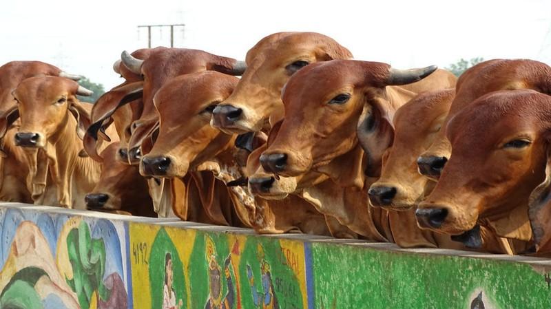 Ấn Độ đề xuất bò và người sống chung - ảnh 1