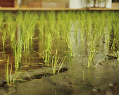 Nhật Bản thiết kế ruộng lúa ngay trong tòa nhà 9 tầng - ảnh 15