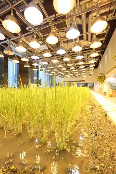 Nhật Bản thiết kế ruộng lúa ngay trong tòa nhà 9 tầng - ảnh 2
