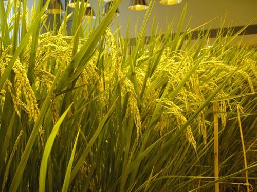 Nhật Bản thiết kế ruộng lúa ngay trong tòa nhà 9 tầng - ảnh 5