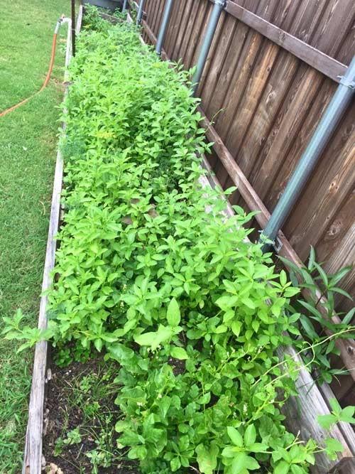 Hồng Ngọc khoe vườn rau tại Mỹ quanh năm ăn chẳng hết  - ảnh 8