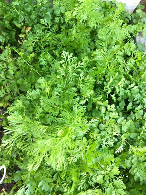 Hồng Ngọc khoe vườn rau tại Mỹ quanh năm ăn chẳng hết  - ảnh 10