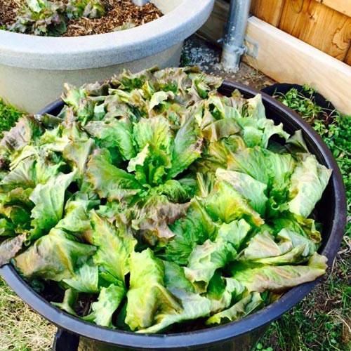 Hồng Ngọc khoe vườn rau tại Mỹ quanh năm ăn chẳng hết  - ảnh 12