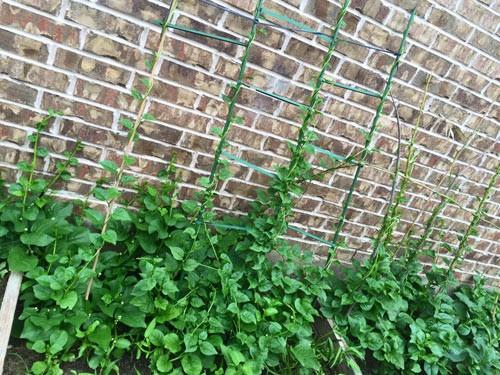 Hồng Ngọc khoe vườn rau tại Mỹ quanh năm ăn chẳng hết  - ảnh 2