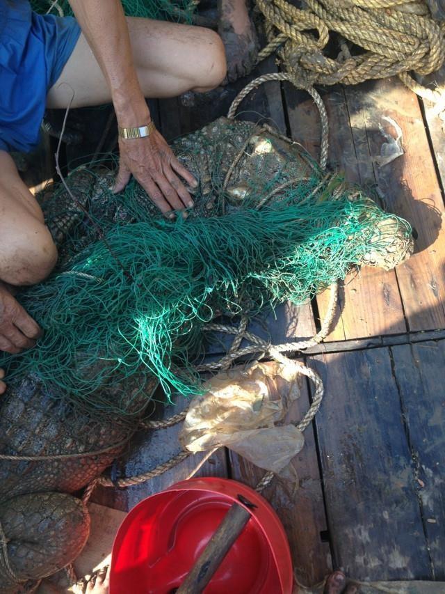 Đã bắt được cá sấu sổng chuồng bơi trên sông Xoài Rạp - ảnh 5