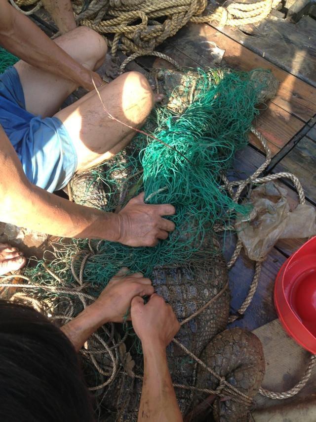 Đã bắt được cá sấu sổng chuồng bơi trên sông Xoài Rạp - ảnh 4