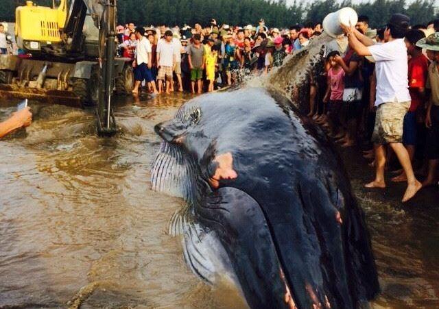 Chùm ảnh: 7 giờ miệt mài giải cứu cá voi 15 tấn  - ảnh 7