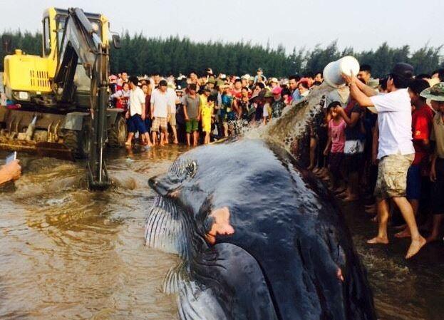 Hàng ngàn người dân hợp sức đưa cá voi về với biển - ảnh 2