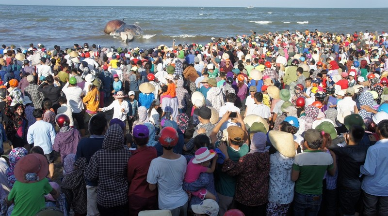 Kéo đưa xác cá voi khoảng 10 tấn lên bờ để tổ chức lễ an táng - ảnh 2