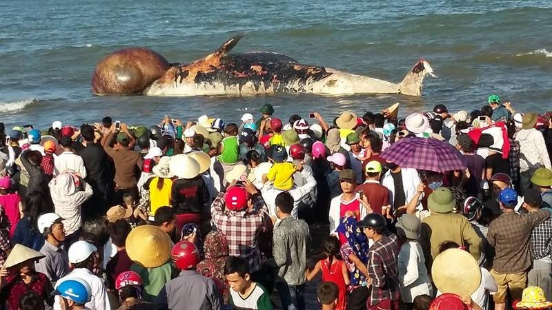 Kéo đưa xác cá voi khoảng 10 tấn lên bờ để tổ chức lễ an táng - ảnh 1