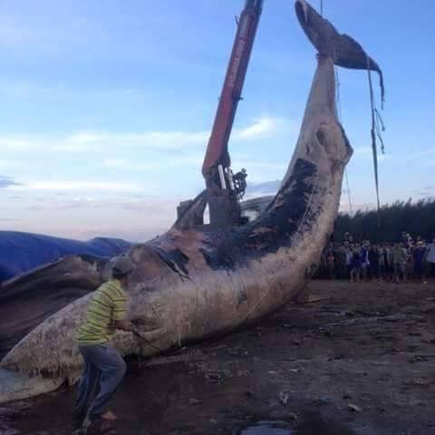 Cả làng mang khăn tang trong lễ an táng cá voi - ảnh 2