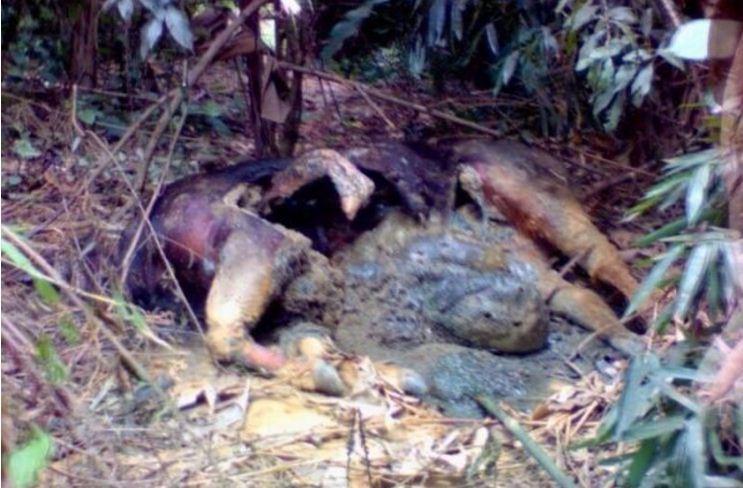 Nghi bò tót nặng khoảng 1 tấn chết thối trong rừng phòng hộ - ảnh 1