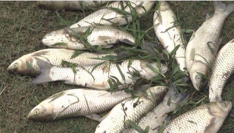 Sau khi vỡ đập chứa bùn thải quặng, cá người dân ở huyện Quỳ Hợp bị chết.