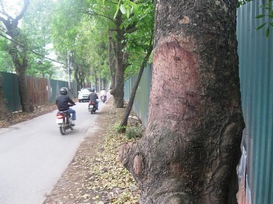 Những vết cạo, đẽo trên thân cây xà cừ đã chuyển sang màu nâu, những vết vỏ bị lột có kích thước khoảng 20x30 cm