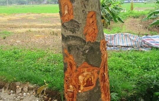 Hàng cây xà cừ tại đường Trung Văn (Thanh Xuân) cũng rơi vào tình trạng tương tự