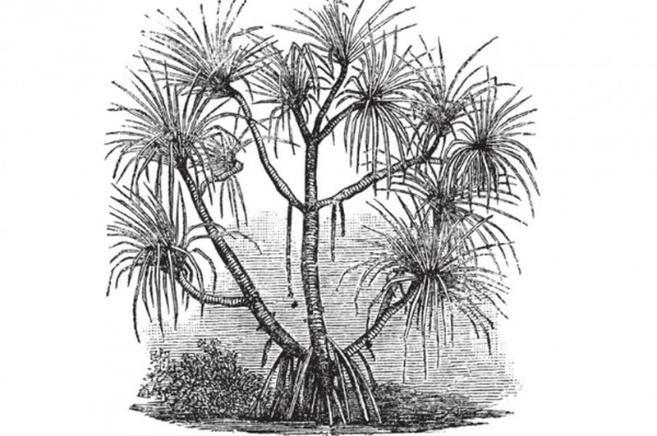 Loài cây 'sang chảnh' chỉ mọc trên đất có kim cương - ảnh 1