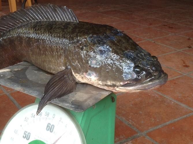 Choáng với cá lóc khủng nuôi trong... hồ kiếng - ảnh 3