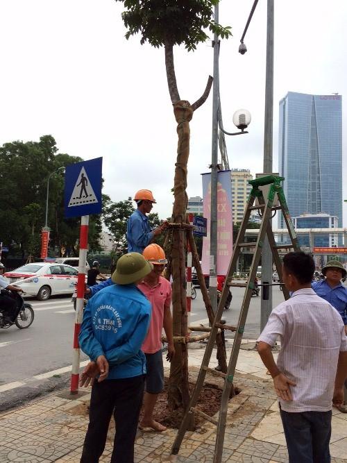 35 cây Lát hoa đầu tiên được trồng mới tại phố Nguyễn Chí Thanh - ảnh 1