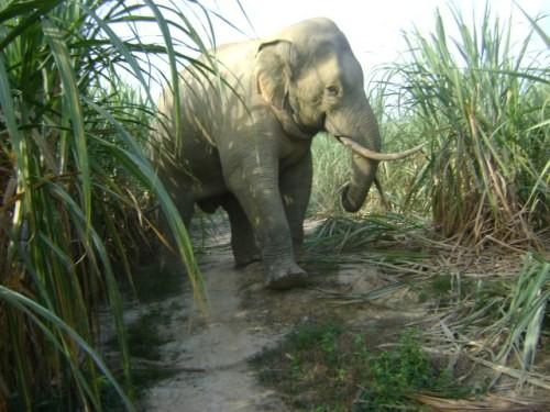 Cả buôn làng khủng hoảng vì bị đàn voi rừng lì lợm 'quậy tưng' - ảnh 1