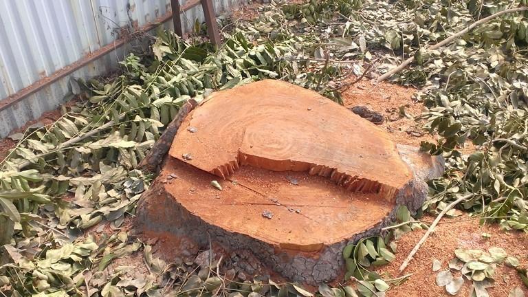 Hà Nội tiếp tục đốn hạ hàng loạt cây cổ thụ - ảnh 2
