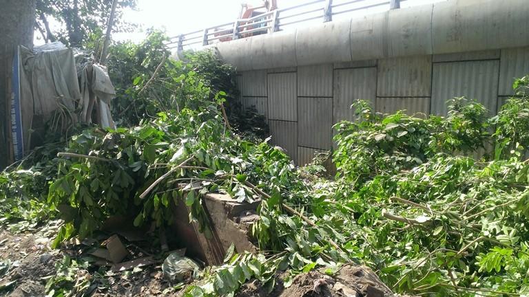 Hà Nội tiếp tục đốn hạ hàng loạt cây cổ thụ - ảnh 4