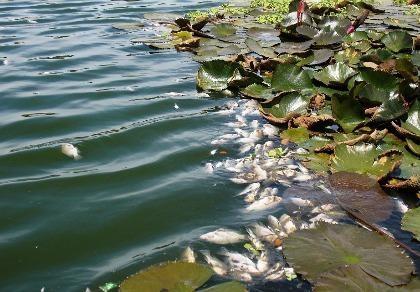 Cá chết nổi đầy mặt hồ