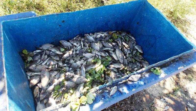 Quảng Nam: Cá chết nổi đầy hồ Nguyễn Du - ảnh 2