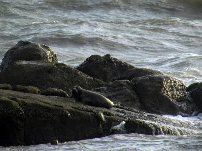 Hải cẩu xám bất ngờ xuất hiện ở biển Bình Thuận - ảnh 6