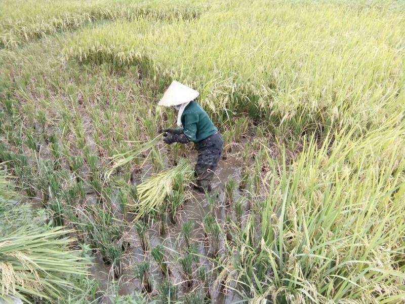 Nông dân Hải Phòng gặt lúa chạy bão số 7  - ảnh 5