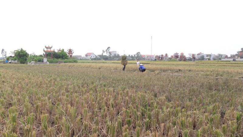 Nông dân Hải Phòng gặt lúa chạy bão số 7  - ảnh 11
