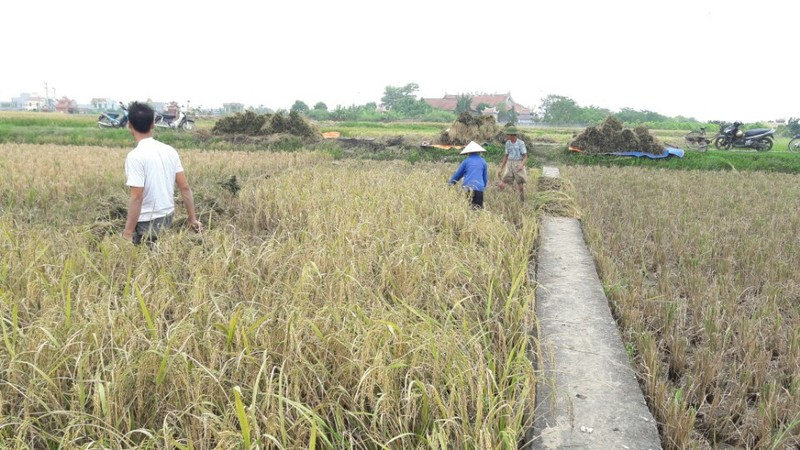 Nông dân Hải Phòng gặt lúa chạy bão số 7  - ảnh 4