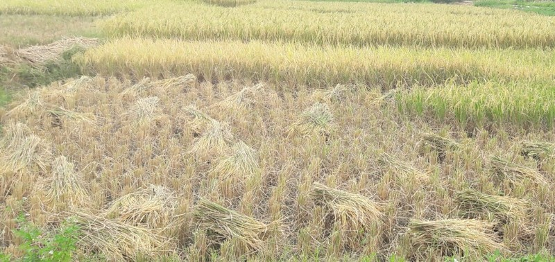 Nông dân Hải Phòng gặt lúa chạy bão số 7  - ảnh 7