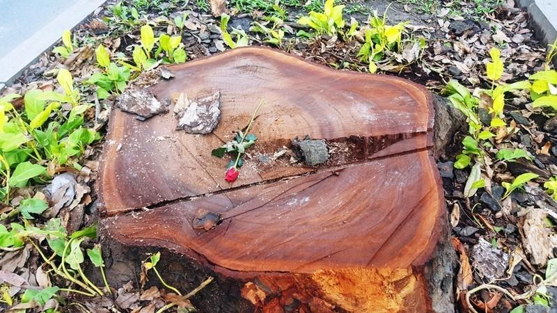 Ai là người đặt hoa hồng ở mỗi gốc cây bị chặt? - ảnh 5