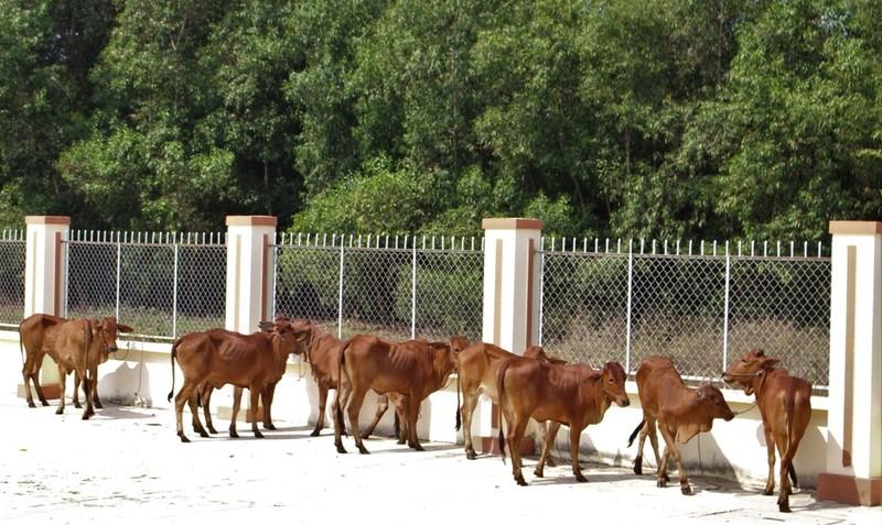 Trao tặng bò giống cho người dân Long An - ảnh 2