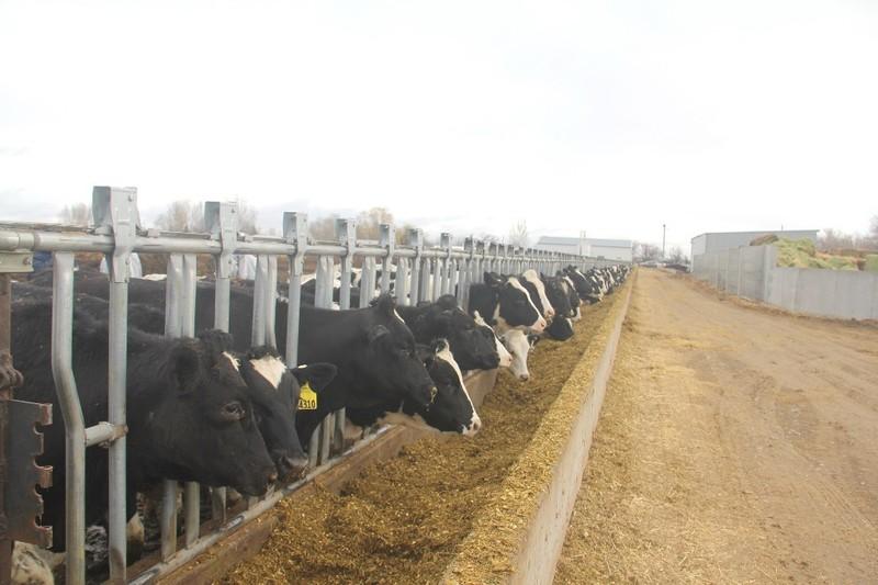 Vinamilk nhập hơn 2.000 bò sữa từ Mỹ - ảnh 1
