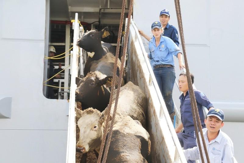 Vinamilk nhập hơn 2.000 bò sữa từ Mỹ - ảnh 2