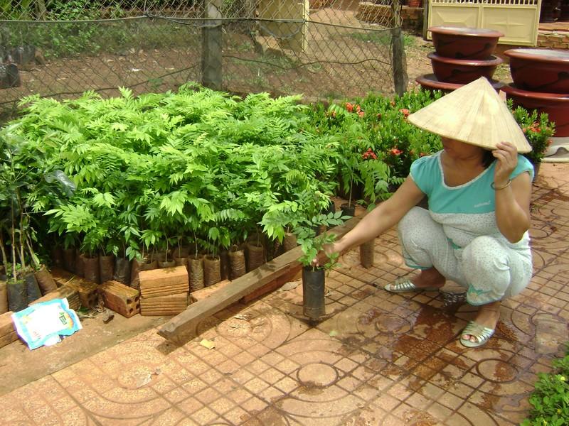 Lại 'chết đứng' vì đổ xô trồng cây sưa giống 'mắc hơn vàng' - ảnh 2