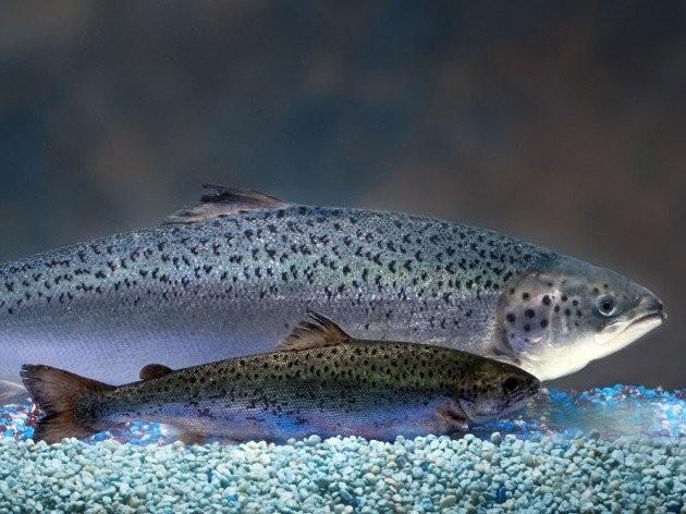 Được phép bán cá hồi biến đổi gen đầu tiên trên thế giới - ảnh 1