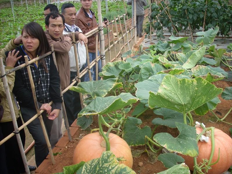 Chiêm ngưỡng những trái bí khổng lồ ở Đà Lạt - ảnh 2